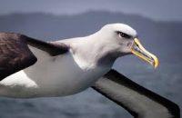 albatross bild
