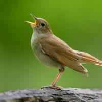 fågelsåg corona mer